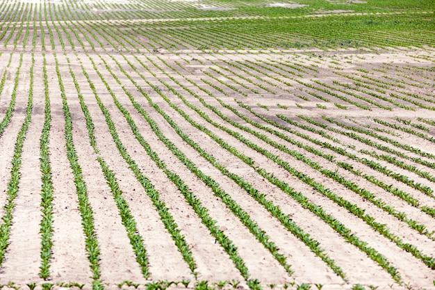 Сельскохозяйственное поле, на котором выращивают сахарную свеклу.