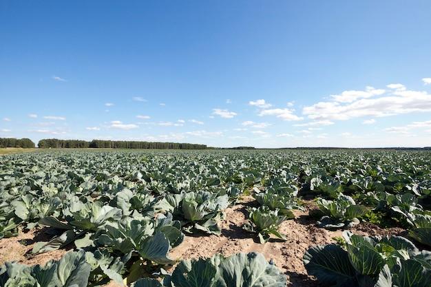 Сельскохозяйственное поле, на котором растет молодая зеленая капуста, весенний сезон