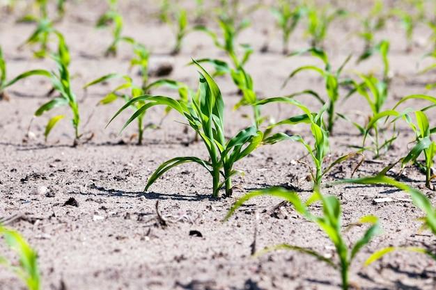 若いグリーンコーンが育つ農地。閉じる。春
