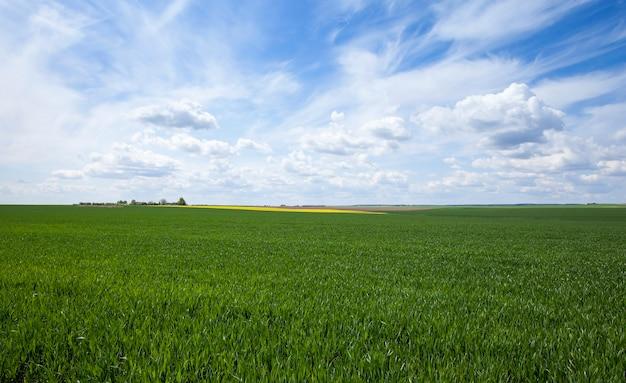 春に未熟な緑の草が生える農地