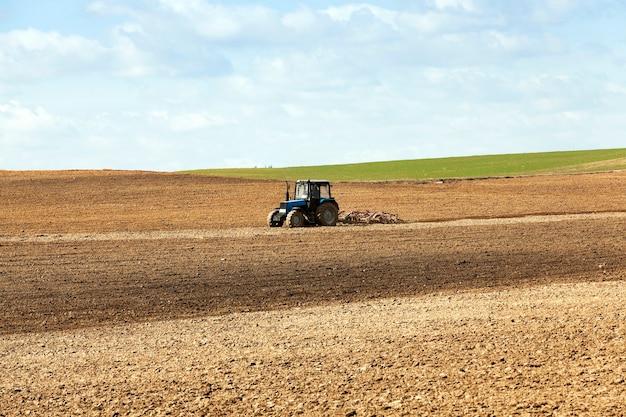 Сельскохозяйственное поле на котором выращивают зерновые пшеницу, беларусь, спелые и пожелтевшие злаки, небольшая глубина резкости.