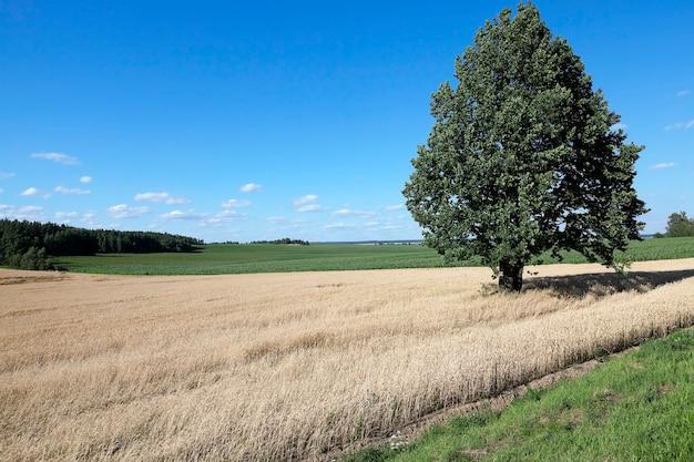 穀物小麦が育つ農地
