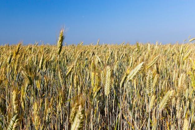 収穫の準備がほぼ整っている黄ばんだ草が生えている農地をクローズアップ。背景に青い空
