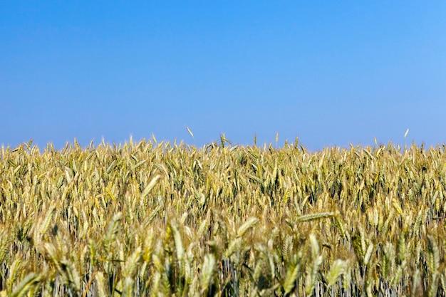 Сельскохозяйственное поле, на котором растет пожелтевшая трава, которая почти готова к сбору урожая, крупным планом. на заднем плане голубое небо