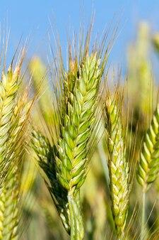 収穫の準備がほぼ整っている黄ばんだ草が生えている農地をクローズアップ。