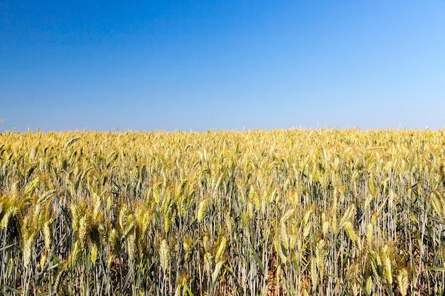 収穫の準備がほぼ整っている黄ばんだ草が生える農地