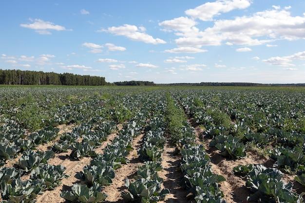 Сельскохозяйственное поле, на котором растет зеленая капуста