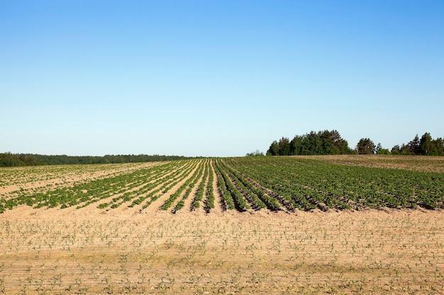 Сельскохозяйственное поле, на котором растет зеленый картофель, весна, голубое небо.