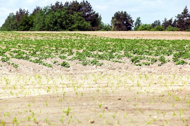 Сельскохозяйственное поле, на котором растет зеленый картофель, весна