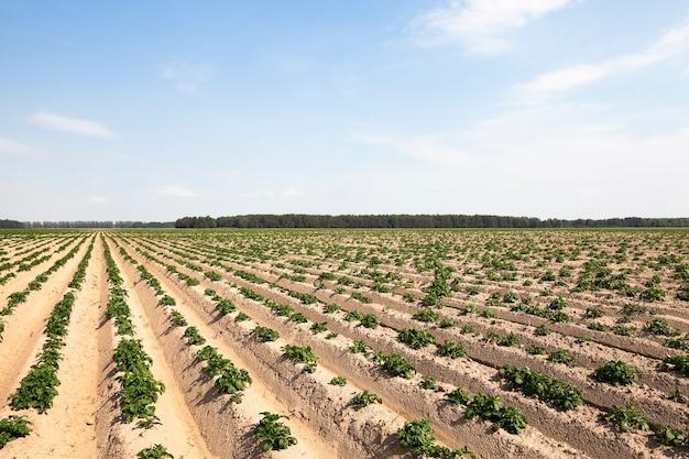 녹색 감자를 재배하는 농업 분야