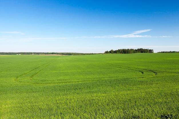 녹색 설 익은 밀 잔디, 배경 푸른 하늘과 나무의 풍경을 성장하는 농업 분야
