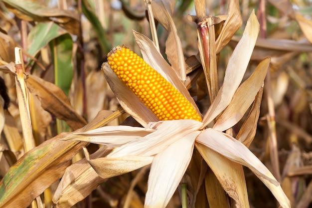 とうもろこしの収穫準備が整った農地