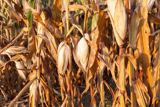 Сельскохозяйственное поле, на котором растет готовая к сбору пожелтевшая кукуруза