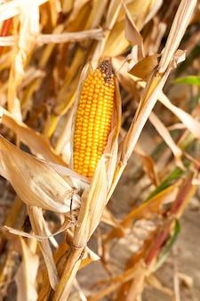 Сельское хозяйство, на котором растет готовая к сбору спелая желтая кукуруза в початках