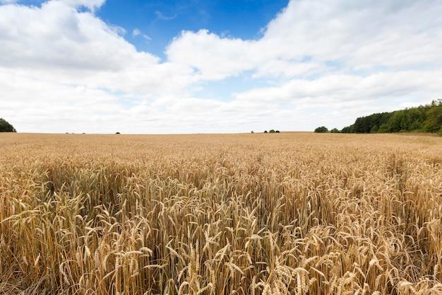熟した黄色い穀物の穂が育つ農地