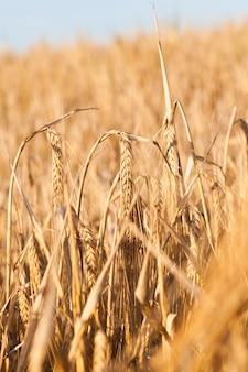 Сельскохозяйственное поле, на котором он растет спелыми, желтые колосья злаков