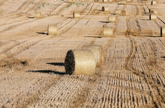 Сельскохозяйственное поле, на котором сложены стога соломы после уборки урожая пшеницы