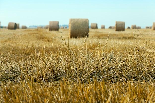 小麦の収穫後にわらの干し草が積み重なった農地