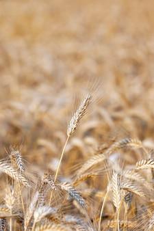 穀物、小麦の収穫が行われる農地。