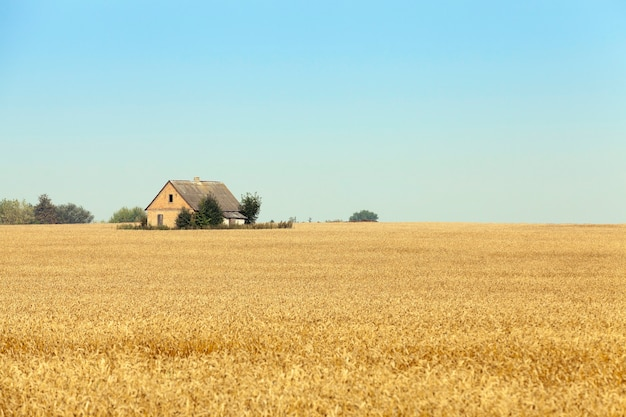 집이 세워진 농업 분야로 주변에 밀이 노란색으로 자랍니다. 백그라운드에서 푸른 하늘입니다. 근접 촬영 사진 촬영