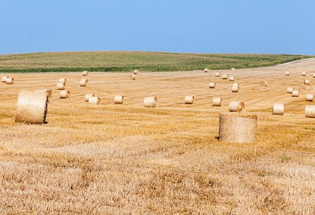 Сельскохозяйственное поле, на котором собирают зрелую желтую сухую рожь. летнее время и солнечная погода. на земле соломка срезанных колосьев ржи.