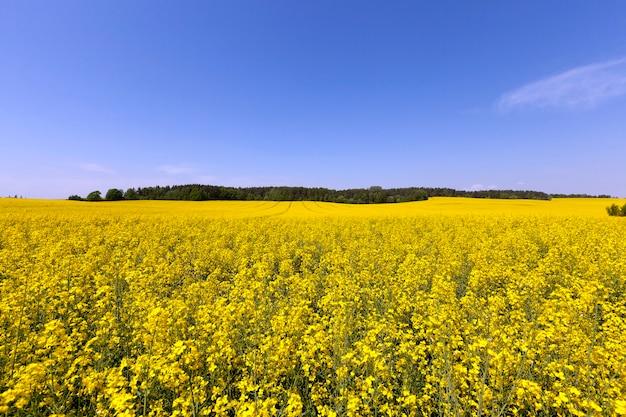 Сельскохозяйственное поле, на котором цветет рапс.