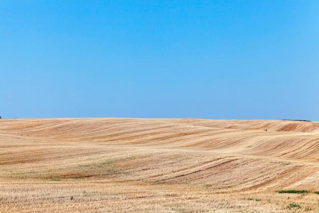 熟した黄色い小麦、青い空、浅い被写界深度を収穫するための農地