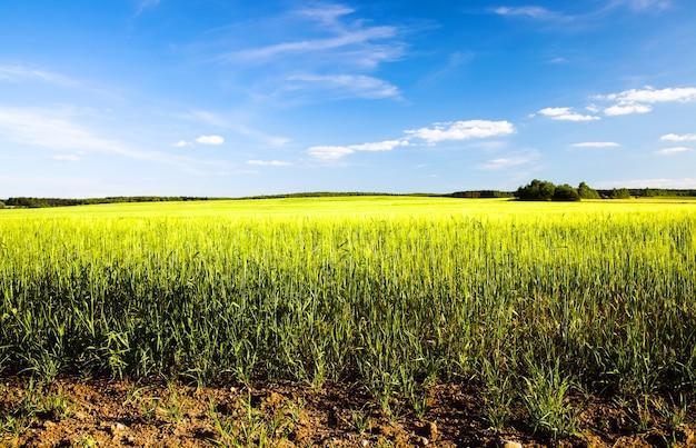 Сельскохозяйственное поле, на котором растет незрелая зеленая пшеница