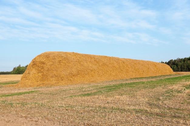 小麦の収穫後、わら干し草の山が横たわったままにされた農地、穀物畑、農業と有機食品、秋の季節、青い空