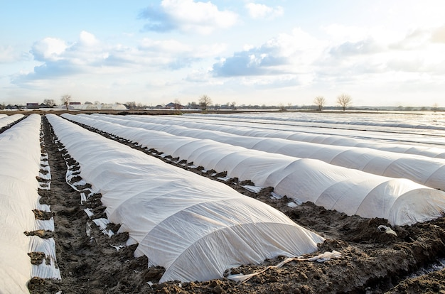 Agricultural field of plantation is covered with spunbond and a plastic membrane greenhouse effect