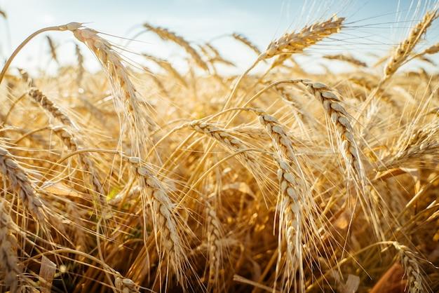 농업 분야. 일몰의 배경에 밀의 익은 귀. 풍성한 수확의 개념