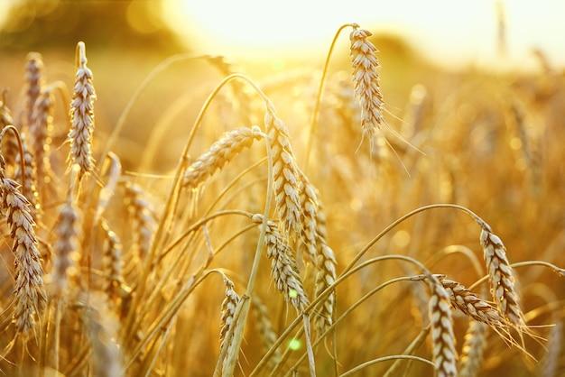 Сельскохозяйственное поле. зрелые колосья пшеницы. концепция богатого урожая.