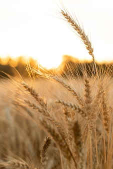 Agricultural field ripe ears of wheat on the background of the sunset the concept of a rich harvest