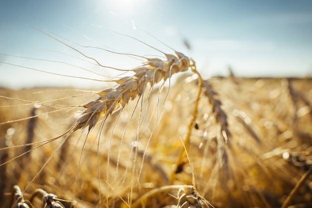 Agricultural field ripe ears of wheat the concept of a rich harvest