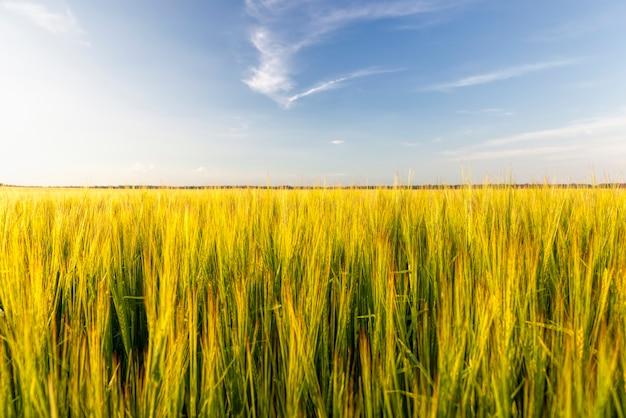 小麦の夏の時期に播種された農地と、食糧生産のために耕作している未熟な小麦植物のある畑