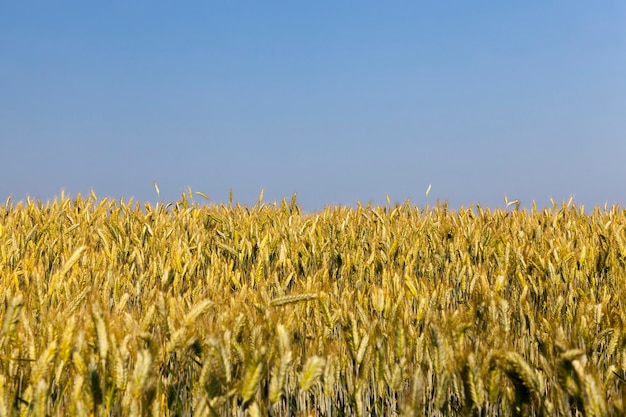 Agricultural field sown with wheat summer time with a field with unripe wheat plants farming for food production