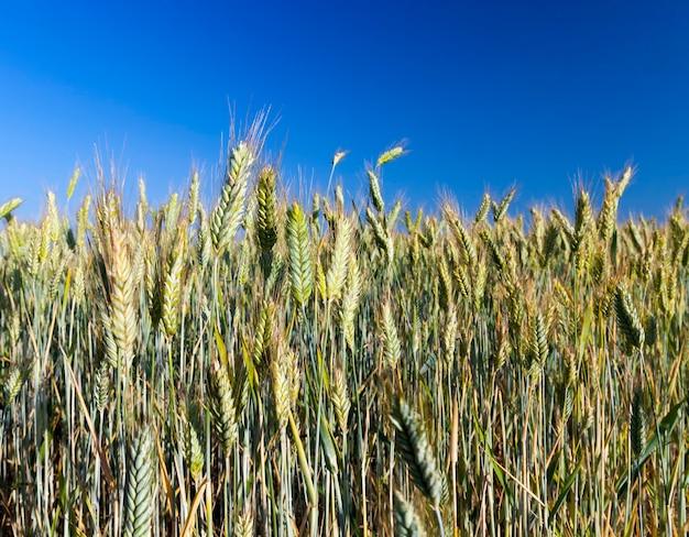 ほぼ熟して黄色になる小麦が植えられた農地黄金色、小麦は収穫の準備ができていない、未熟小麦の大粒収量