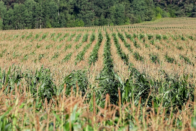 An agricultural field in summer, which grows green immature maize
