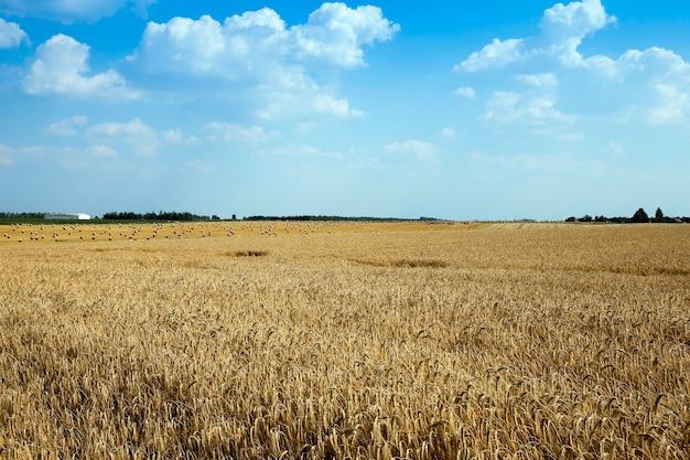 農家が穀物を栽培する農地。小麦畑