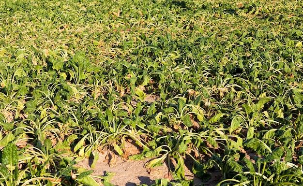 Сельскохозяйственное поле, где растет большое количество зеленой вялой свеклы