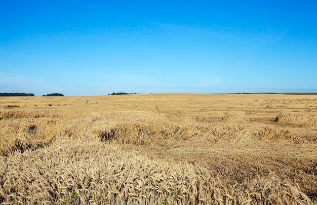 폭풍 후 땅에 익은 노란 밀이있는 농업 분야