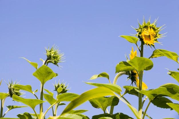 연간 해바라기, 공업 적으로 자란 해바라기의 밝은 노란색 꽃, 동유럽 영토가있는 농업 분야