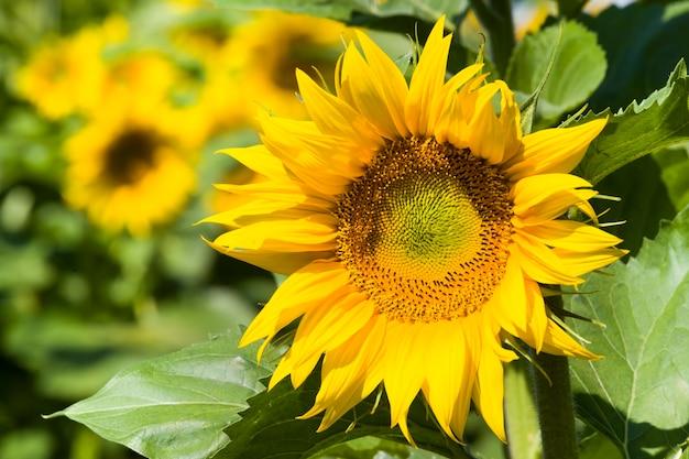 연간 해바라기, 해바라기의 밝은 노란색 꽃이있는 농업 분야