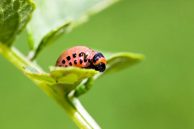 コロラドハムシがたくさんいるジャガイモの育種品種が育つ農地肥沃な土壌に小さな植物ジャガイモ、高品質の食用ジャガイモを収穫