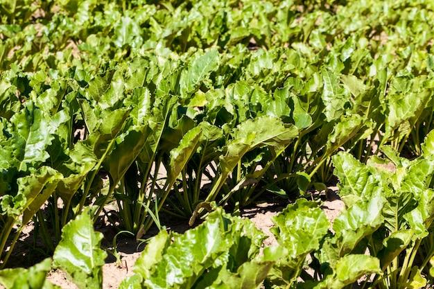 甜菜の育種品種が栽培されている農地、肥沃な土壌に甜菜を植え、高品質の甜菜製品を収穫、クローズアップ