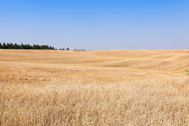 作物が熟した黄色いライ麦を収穫した農地