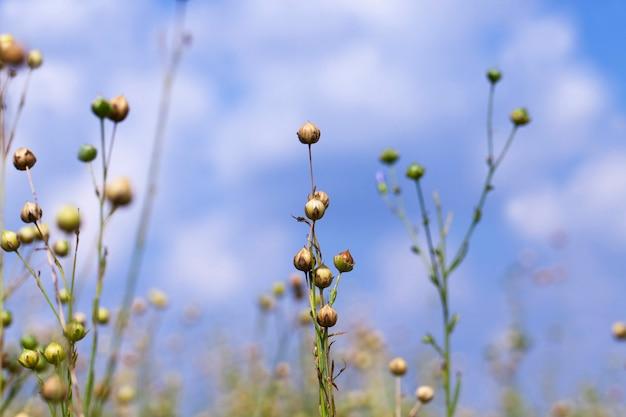 Сельскохозяйственное поле, где выращивают лен для производства льняных тканей, зеленый лен готов к уборке.