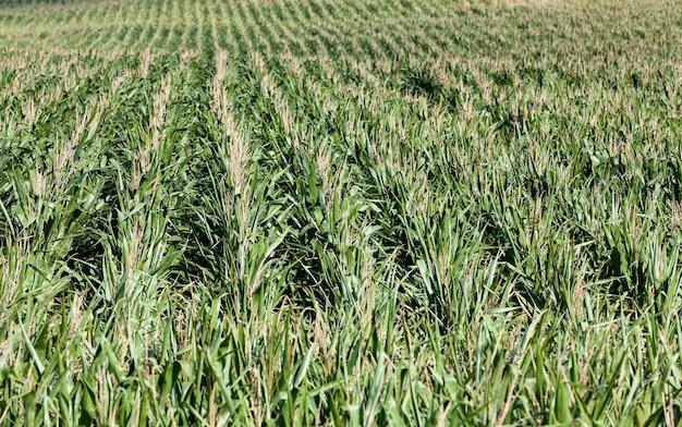 Сельскохозяйственное поле, где в теплые летние дни растет зеленая кукуруза, промышленное производство кукурузного зерна для пищевой промышленности и животноводства.