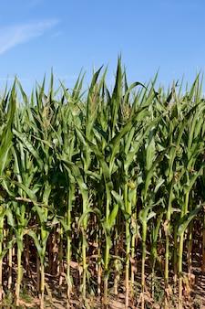 Сельскохозяйственное поле, где в теплые летние дни растет зеленая кукуруза
