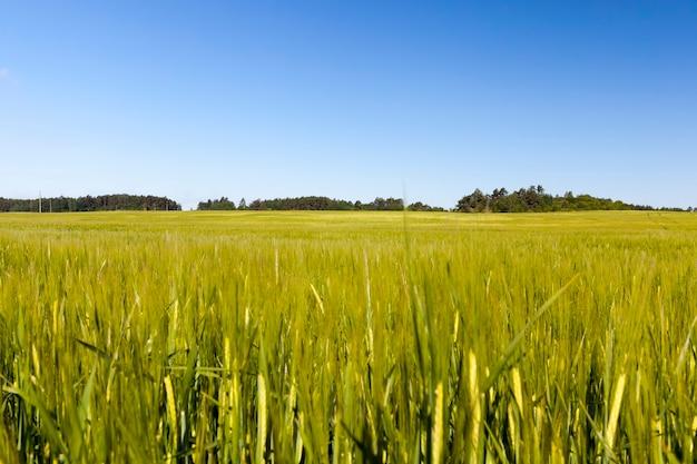 緑のライ麦が育つ農地、穀物収穫のための農業、ライ麦は若くて緑で、まだ未成熟です